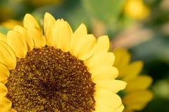 在Suan Luang拉马IX公园,泰国的向日葵 免版税库存照片