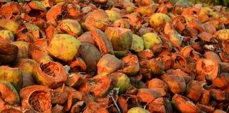 在subrise太阳的布朗椰子 库存图片
