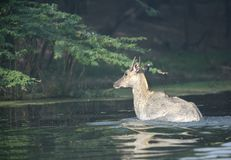 在Sultanpur移动在水中的鸟类保护区的蓝牛羚 库存照片