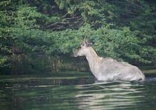 在Sultanpur鸟类保护区的蓝牛羚 免版税库存图片