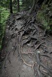在Sumela修道院附近的树根 库存照片