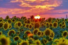 在sumset的向日葵领域 库存照片