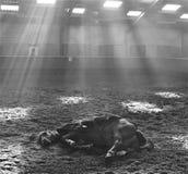 在SUNBEAMS AT DE STAP下的休息的马 免版税图库摄影