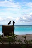 在Sundeck椅子的乌鸦夫妇 库存图片