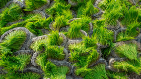 稻在Sungai Besar,马来西亚生新芽 免版税库存照片