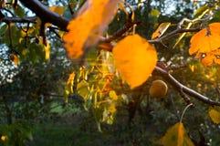 在sunse的苹果树 图库摄影