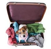 在sutecase的狗 库存照片