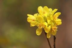 在Suthap山的黄色花 库存照片