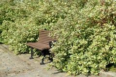 在svidina白色& x28的灌木中换下场; Derain,它是twisted& x29;poecilophyllous & x28; 萸肉& x28; Swidina& x29;晨曲L & 库存照片