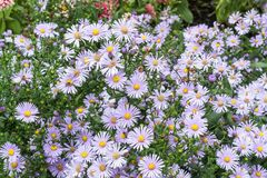 在Symphyotrichum新星angliae的蜂 免版税库存照片