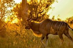 在synunset的Kudu大型装配架 库存图片