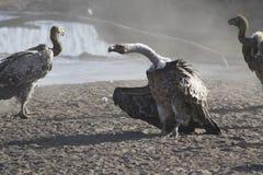 在t的一个含沙小河海滩站立的Ruppells兀鹫 库存图片