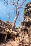 在Ta Phrom,吴哥窟,柬埔寨的树 免版税库存图片