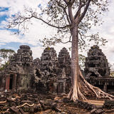 在Ta Phrom,吴哥窟,柬埔寨的树 库存照片