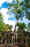 在Ta Prohm寺庙的老树 免版税库存图片
