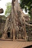 在Ta Prohm寺庙的老榕树 图库摄影
