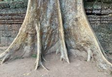 在Ta Prohm寺庙,柬埔寨的树干 图库摄影