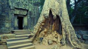 在Ta Prohm,吴哥,暹粒,柬埔寨入口的一棵巨型树  库存图片