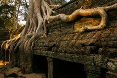 在Ta Prohm,泰国的老树收割 库存照片