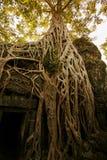 在Ta Prohm,泰国的老树收割 库存图片