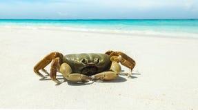 在Tachai海岛、Similan海岛国家公园、Phang Nga、泰国有清楚的海的和S白色海沙海滩的鸡螃蟹  免版税库存照片
