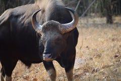 在Tadoba国立公园的有角的印度人Gaur在印度 库存图片