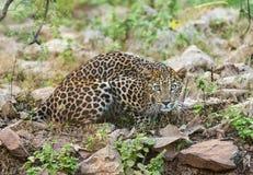 在Tadoba国立公园,钱德拉布尔县,马哈拉施特拉,印度的豹子 免版税库存照片