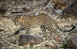 在Tadoba,钱德拉普尔,马哈拉施特拉,印度的豹子 免版税库存照片