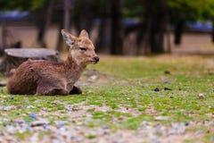 在Taidoji寺庙,奈良的鹿在日本 免版税库存照片