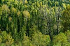 在taiga的干树 免版税图库摄影