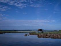 在Talay Noi的水牛 库存照片