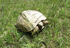 在Talimarjon蓄水库,乌兹别克斯坦附近的中亚乌龟 免版税库存图片
