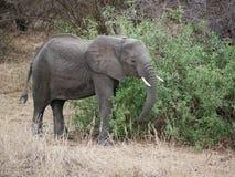 在Tarangiri-Ngorongoro徒步旅行队的大象在非洲 库存照片