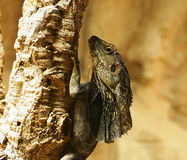 在Tarcoles河的野生生物观察是丰富的 Ctenosaura similis,一般叫作黑色多刺盯梢了鬣鳞蜥 免版税库存图片