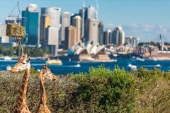 在Taronga动物园的逗人喜爱的长颈鹿有悉尼看法怀有 图库摄影