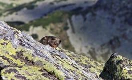 在Tatra山的好奇土拨鼠 免版税库存图片