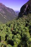 在Tatry山的矮小的杉树 图库摄影