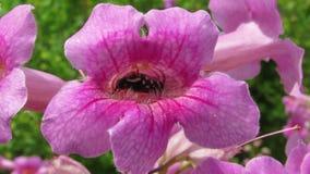 在Tecoma灌木一朵桃红色花的小臭虫  影视素材