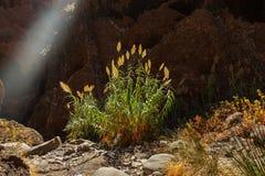 在Tenerife -金丝雀的著名峡谷Masca 图库摄影