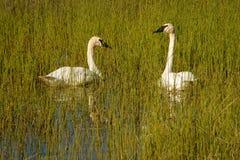 在Teslin湖的两只野天鹅育空地区,加拿大 免版税图库摄影