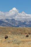 在Tetons的北美野牛 免版税库存图片