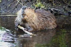 在Tetons的海狸 免版税库存照片