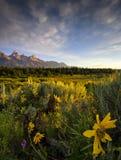在Tetons的野花 免版税库存照片