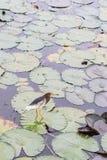 在Thale Noi的中国池塘苍鹭 图库摄影