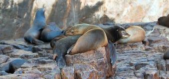 """在""""the狼海狮殖民地在土地晃动在Cabo圣卢卡斯结束的Lair†的海狮 库存图片"""