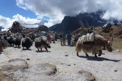 在Thokla的牦牛通过,珠穆琅玛营地艰苦跋涉,尼泊尔 库存照片
