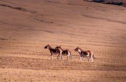 在Tibetï ¼ šWild动物的记忆 免版税库存照片