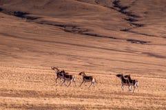 在Tibetï ¼ šWild动物的记忆 库存照片