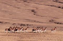 在Tibetï ¼ šWild动物的记忆 图库摄影