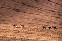 在Tibetï ¼ šWild动物的记忆 免版税图库摄影